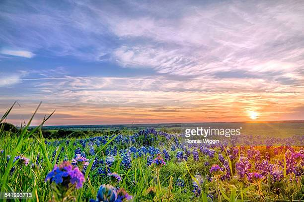 texas bluebonnets at sunset down low - texas bluebonnet stock pictures, royalty-free photos & images
