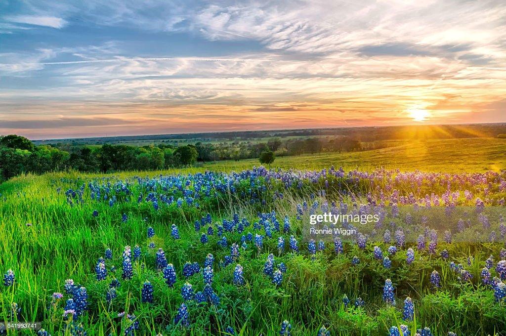 Texas bluebonnets at sunset : Stock Photo