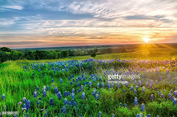 texas bluebonnets at sunset - golfküstenstaaten stock-fotos und bilder