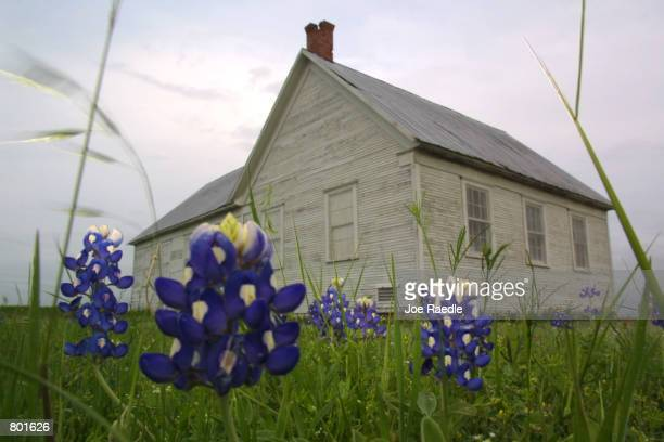 Texas bluebonnets bloom in the yard of the Prairie Chapel School built in 1884 in Crawford Texas April 12 2001 Crawford the hometown of US President...
