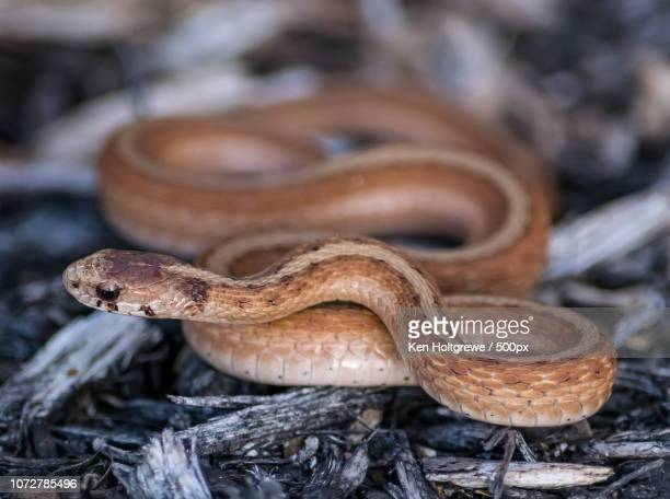 texas brown snake coiled on mulch - chicken snake stock pictures, royalty-free photos & images