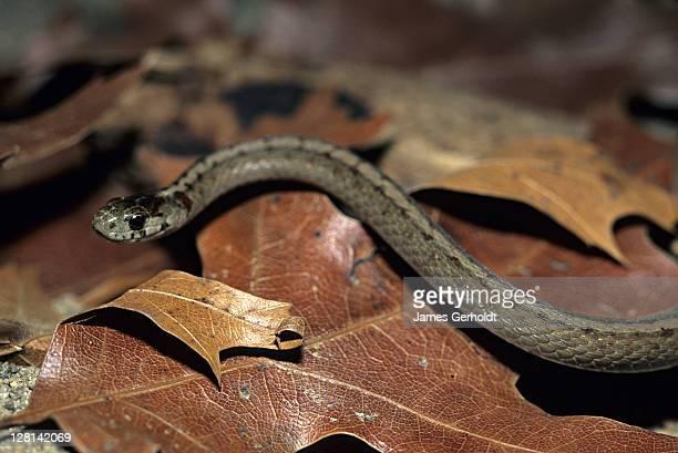 texas brown snake, storeria dekayi texana, appanoose county, iowa, usa - squamata stock photos and pictures