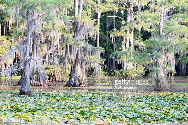 usa, texas, caddo lake state park, green trees - caddo lake stock pictures, royalty-free photos & images