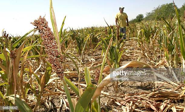 Texas Farmer Cody West Stands In A Field Of Dried Out Milo On Wednesday Morning August