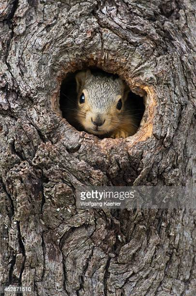USA Texas Hill Country Near Hunt Eastern Fox Squirrel Peeking Out Of Tree Hole