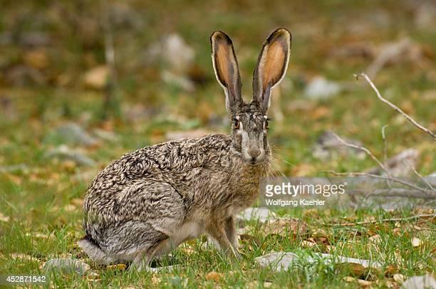 USA Texas Hill Country Near Hunt Jack Rabbit