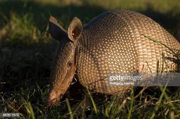Texas, Hill Country Near Hunt, Nine-banded Armadillo In Evening Sunshine.