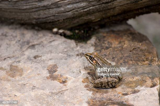 USA Texas Hill Country Near Hunt Southern Leopard Frog