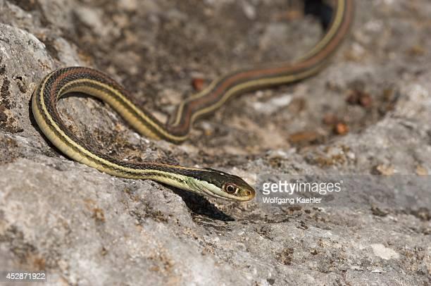 USA Texas Hill Country Near Hunt Western Ribbon Snake Garter Snake On Rock