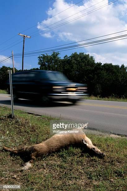 USA Texas Hill Country Near Wimberley Deer Road Kill