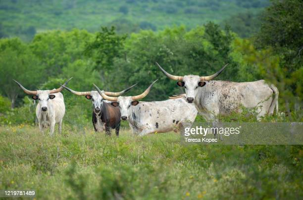 texas longhorn cattle in field - texas longhorns stock pictures, royalty-free photos & images