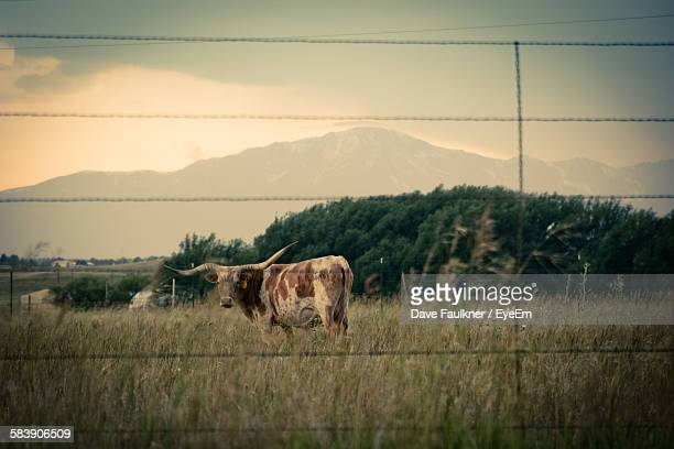 texas longhorn cattle on grassy field against mountains seen through fence - texas longhorn cattle stock photos and pictures