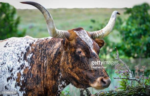 texas longhorn cattle on the open prairie - livestock branding stock photos and pictures