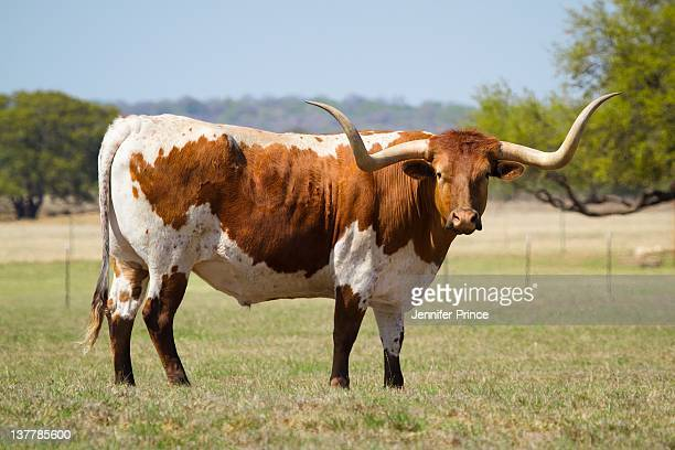 texas longhorn cattle - texas longhorn cattle stock photos and pictures