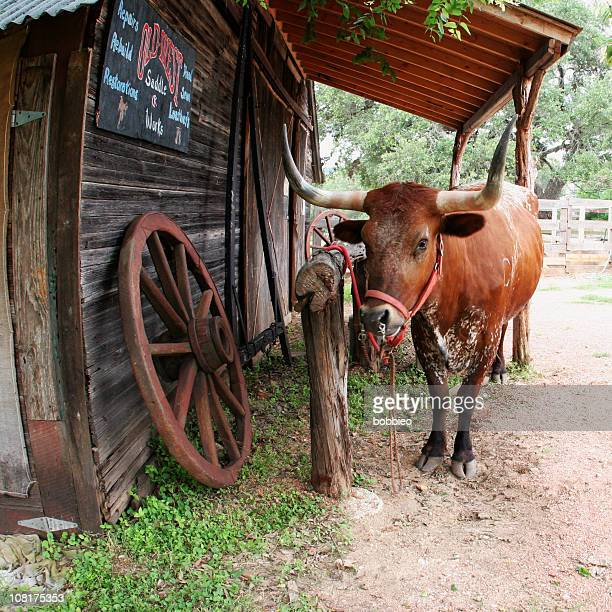 texas longhorn cattle tied to fence post at ranch - texas longhorn cattle stock photos and pictures