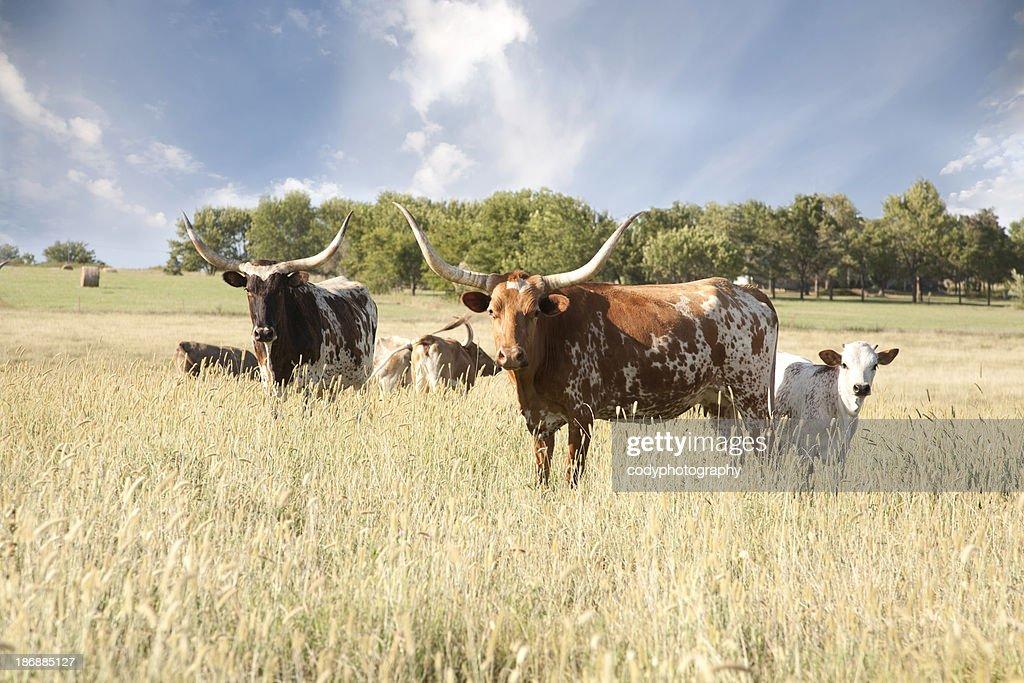 Texas Longhorn Herd In Field : Stock Photo