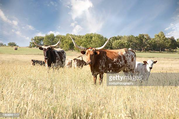 texas longhorn herd in field - texas longhorn cattle stock photos and pictures