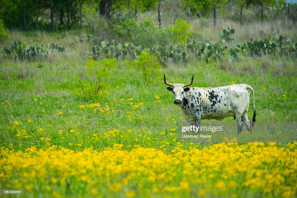 Texas longhorn : Stock Photo