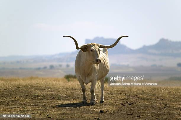 texas longhorn - texas longhorn cattle stock photos and pictures