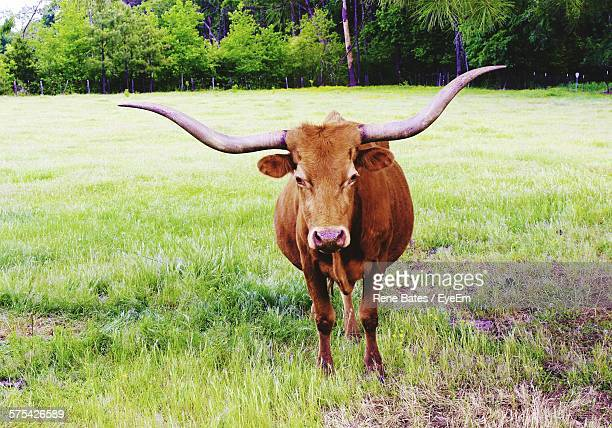 Texas Longhorn Standing On Grassy Field