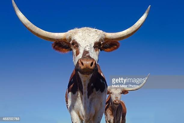 texas longhorns and blue sky - texas longhorn cattle stock photos and pictures
