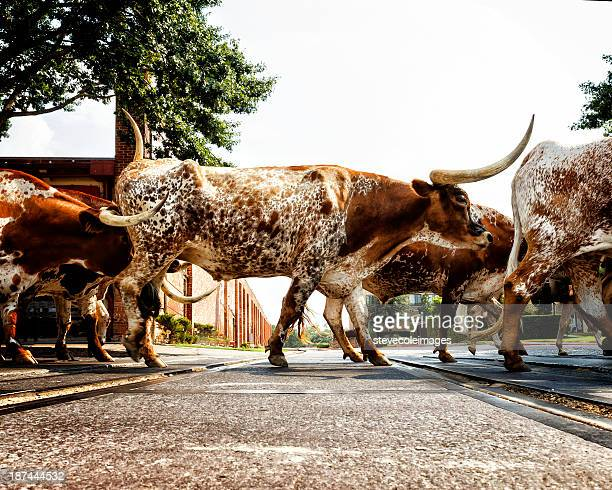 texas longhorns - texas longhorn cattle stock photos and pictures