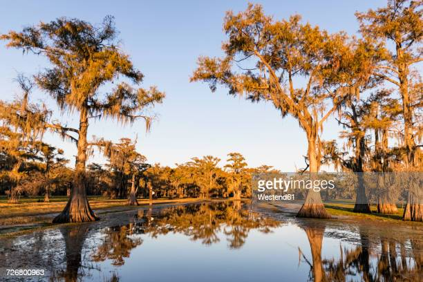 USA, Texas, Louisiana, Caddo Lake, bald cypress forest