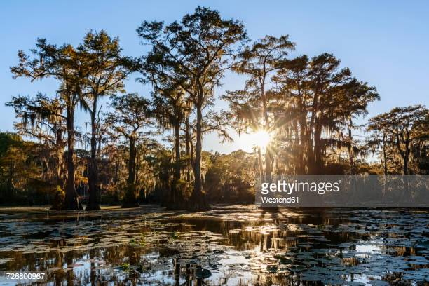 USA, Texas, Louisiana, Caddo Lake State Park, Saw Mill Pond, bald cypress forest