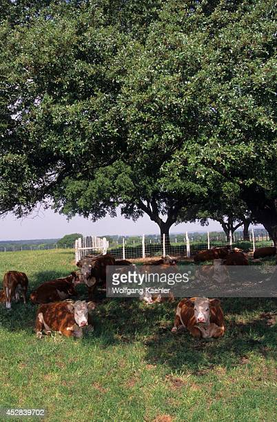 USA Texas Lyndon B Johnson National Historic Park Hereford Cattle Seeking Shade Under Tree