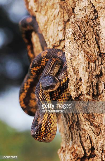 Texas Rat Snake (Elaphe obsoleta lindheimeri), adult climbing tree, Lake Corpus Christi, Texas, USA