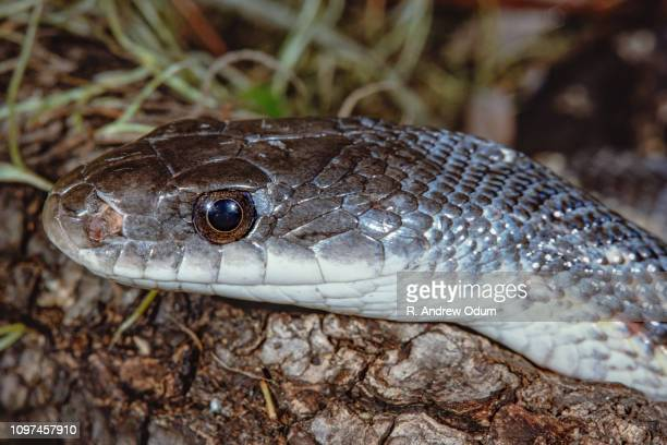 14 Texas Rat Snake Photos And Premium High Res Pictures Getty Images