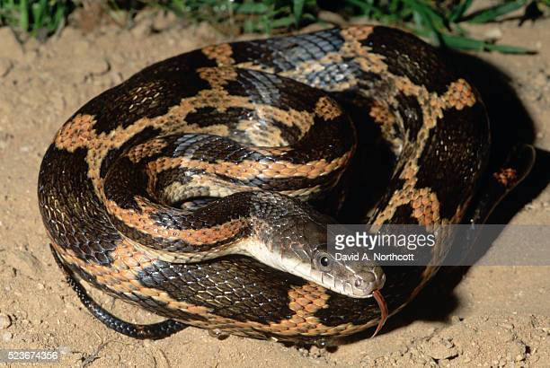 texas rat snake - rat snake stock photos and pictures