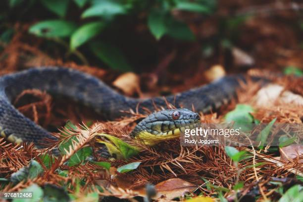 17 Texas Rat Snake Pictures, Photos & Images - Getty Images
