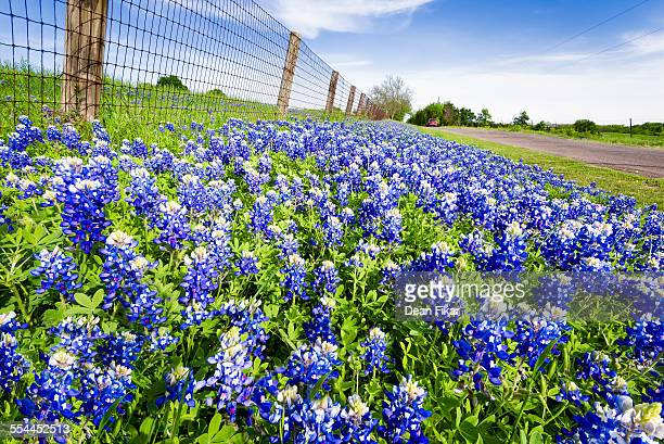 texas roadside bluebonnets - texas bluebonnet stock pictures, royalty-free photos & images
