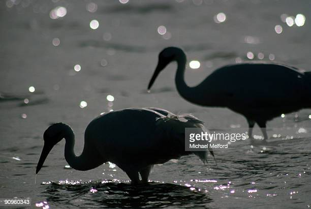 Two whooping cranes standing in water.