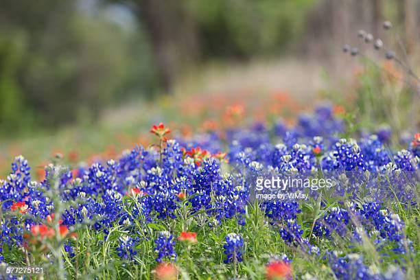 texas wildflowers in bloom - texas bluebonnet stock pictures, royalty-free photos & images
