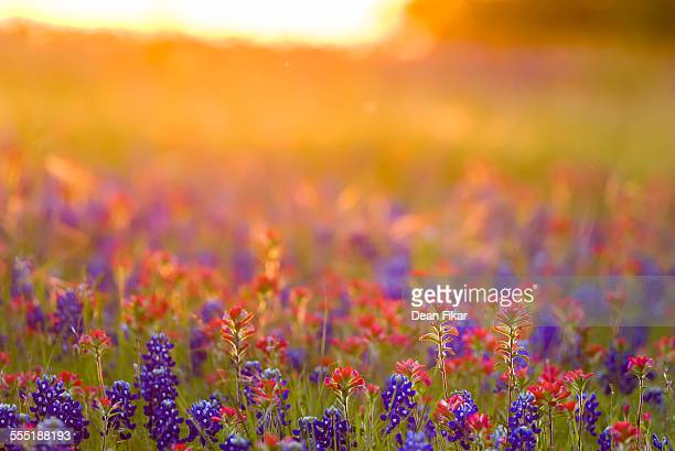 texas wildflowers - texas bluebonnet stock pictures, royalty-free photos & images