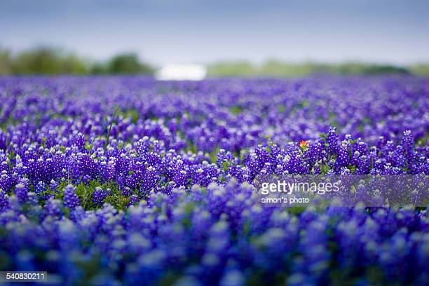texas, your texas - texas bluebonnet stock pictures, royalty-free photos & images
