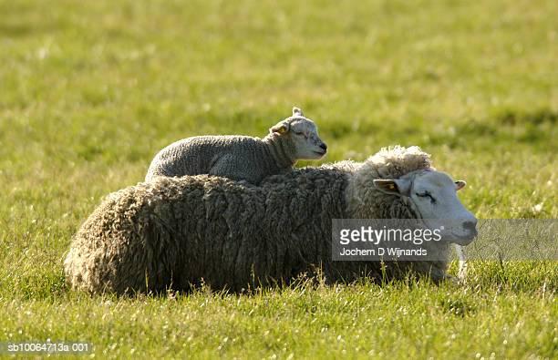 Texel ewe and lamb lying in meadow