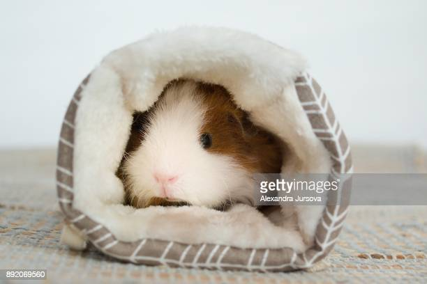 A texel guinea pig in the nest