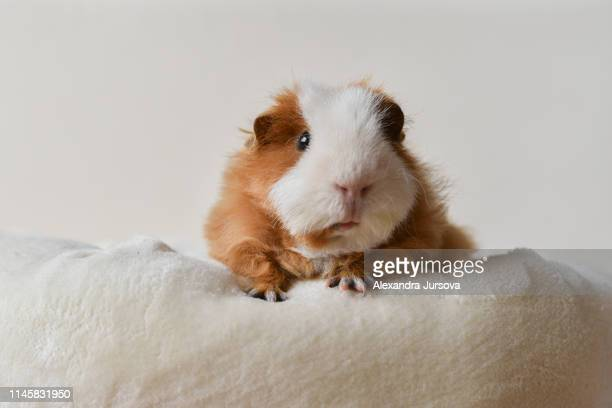texel guinea pig - guinea pig stock pictures, royalty-free photos & images