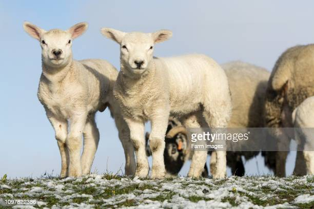 30 Top Texel Sheep Pictures, Photos and Images - Getty Images