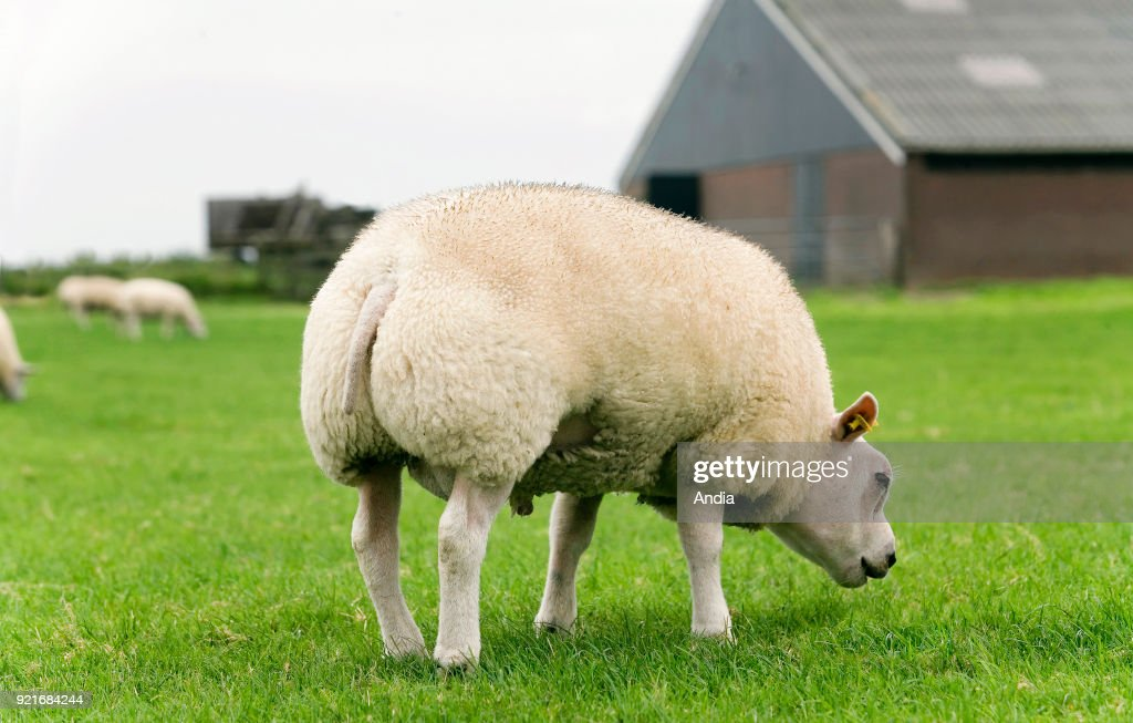 Texel sheep in a meadow in the Netherlands. : News Photo