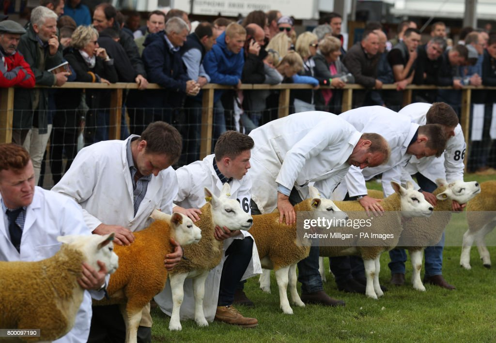 Texel sheep in the show ring during the Royal Highland Show