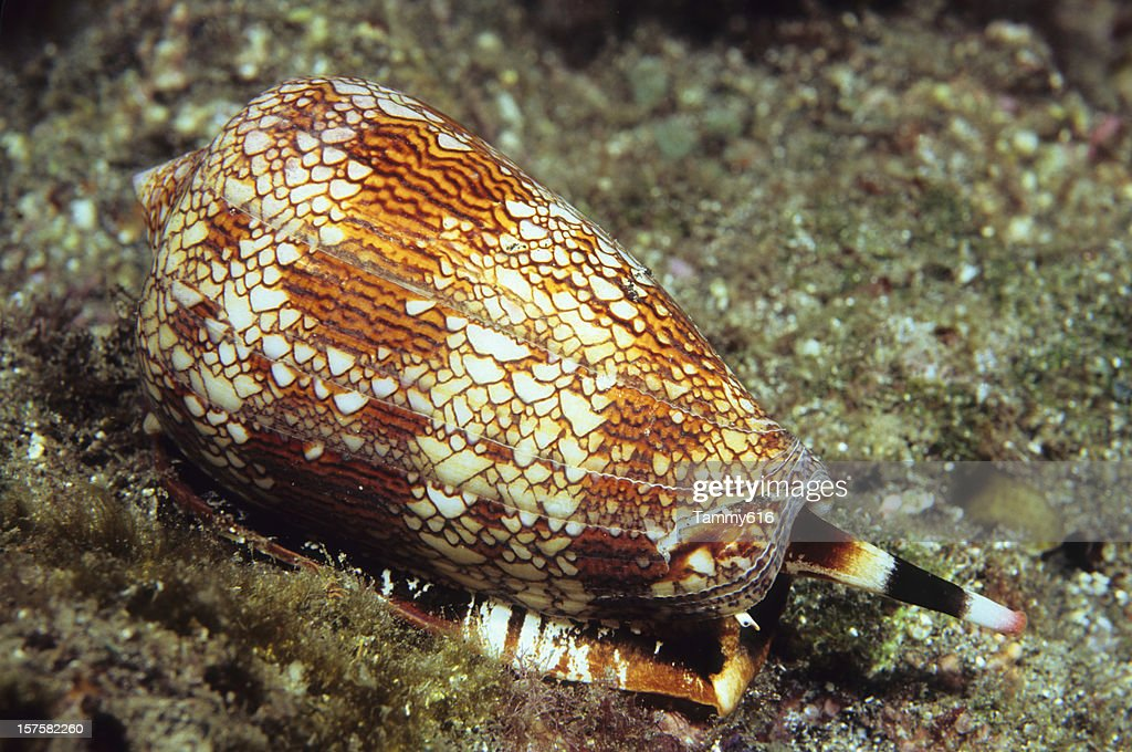 Textile Cone Shell : Stock Photo