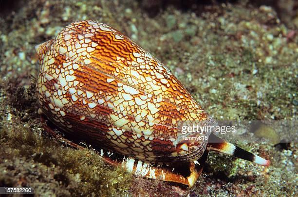 Textile Cone Shell