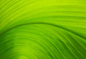 http://www.istockphoto.com/photo/texture-of-a-green-leaf-as-background-gm615706356-106863287