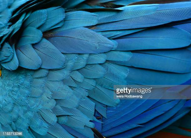 texture of beautiful feather macaw bird close up line detail and color. multicolored of bird feather used for  decorate background  to make your work stand out. feather of blue bird macaw - 羽飾り ストックフォトと画像