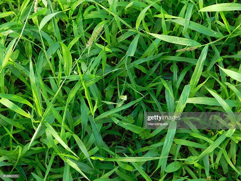 texture of grass lawn : Stock Photo