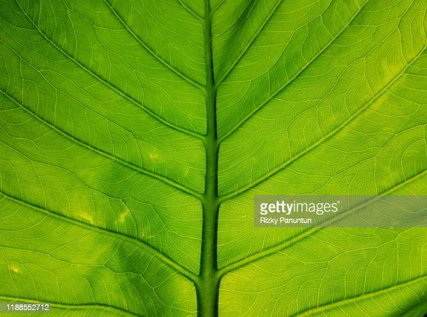 textures background of green taro leaves - lush stock pictures, royalty-free photos & images